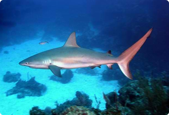 Image result for reef shark key west