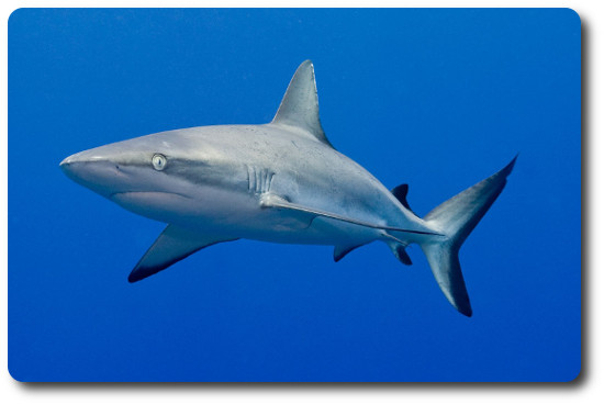 Gray Reef Shark Info