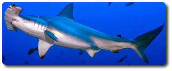 where are hammerhead sharks found hammerhead sharks diet