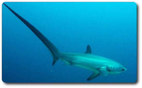 Thresher Shark Facts