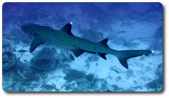 Whitetip Reef Shark Facts