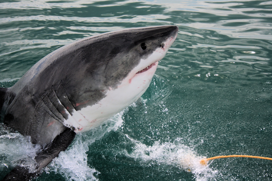 50 Cool Facts About Great White Sharks