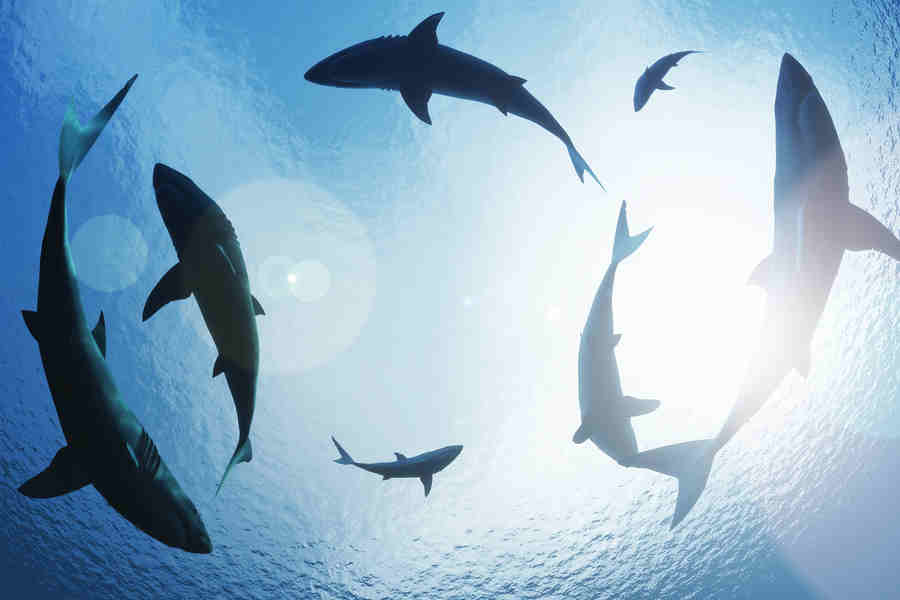 The Eights Orders Of Sharks