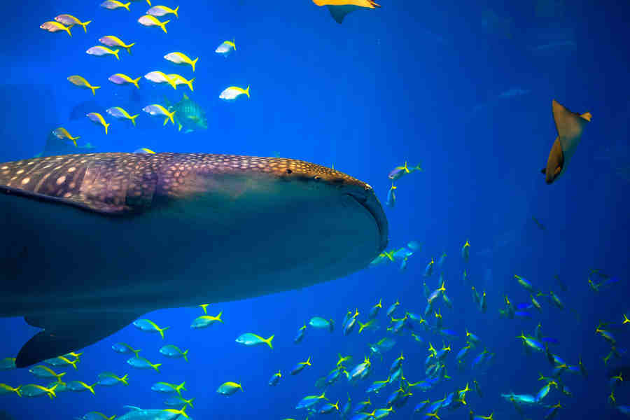 a study on the beast of the sea the whale shark Sharks were once called sea dogs, and other little-known facts  published a comparative study of shark teeth, theorizing for the first time that fossils are the remains of living animals and .