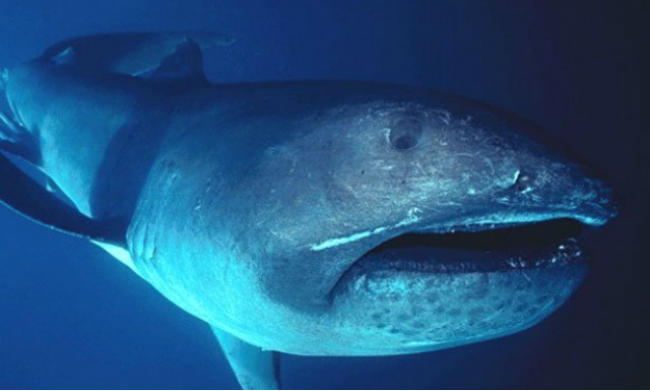 Megamouth Shark Filter