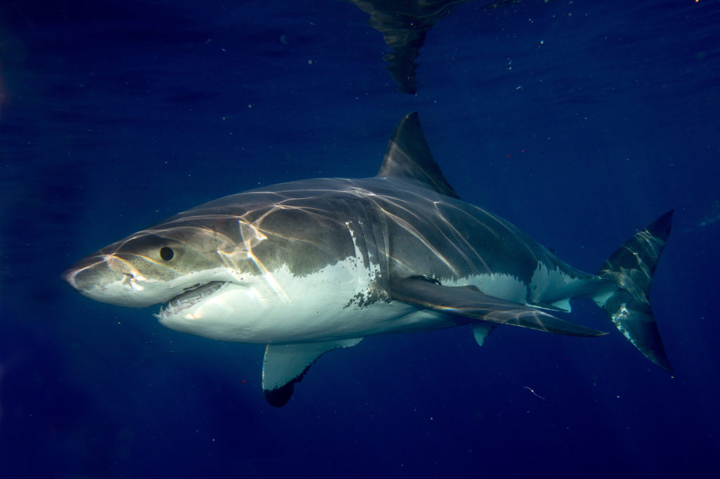 Big Great White Shark