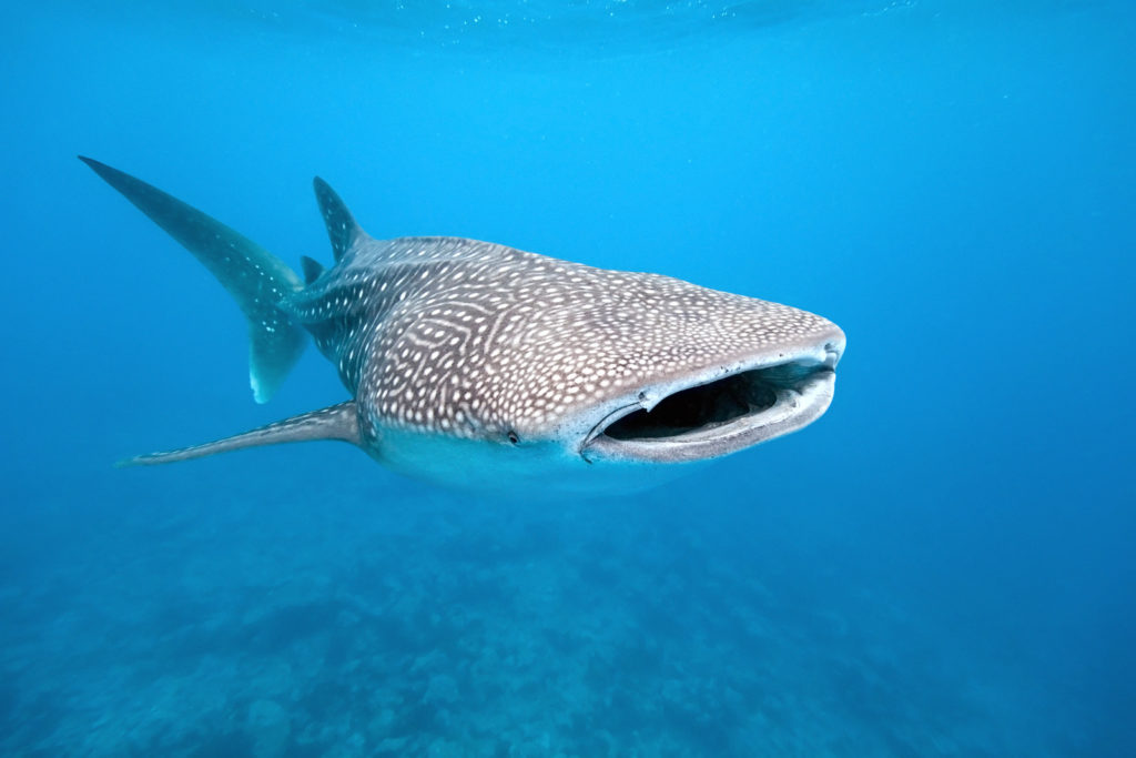 Whale shark on the blue background, indian ocean ** Note: Slight graininess, best at smaller sizes