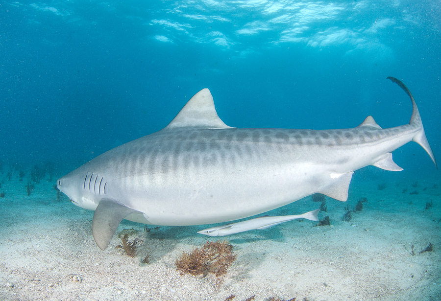 Important Facts About Tiger Sharks Welcome To Sharksider Com