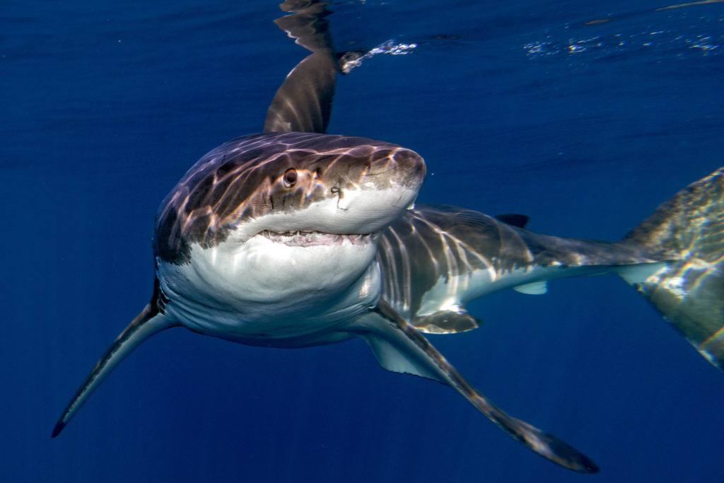 Facts About Great White Shark Reproduction