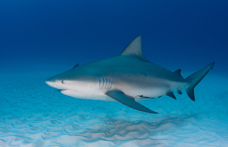 sharks of the gulf of mexico
