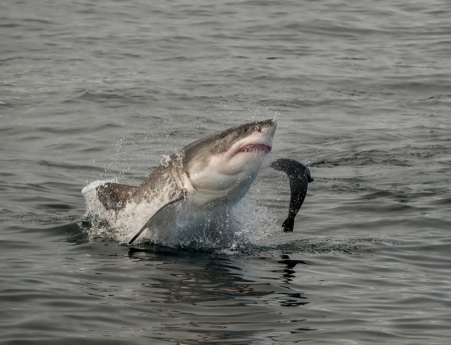 Great white shark pictures eating