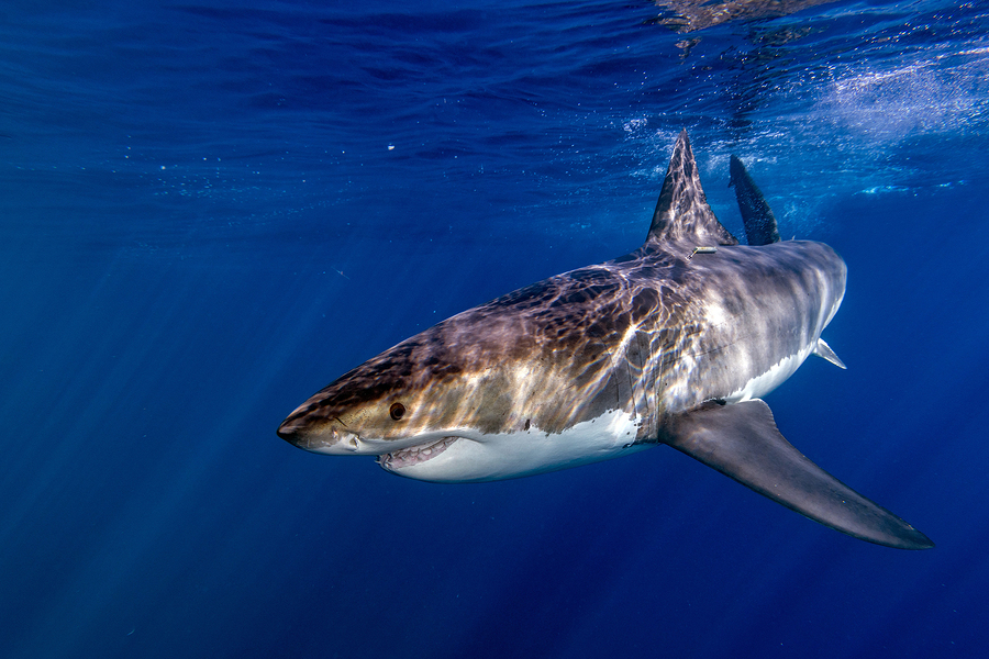 The Impressive Biological Adaptations Of Great White Sharks