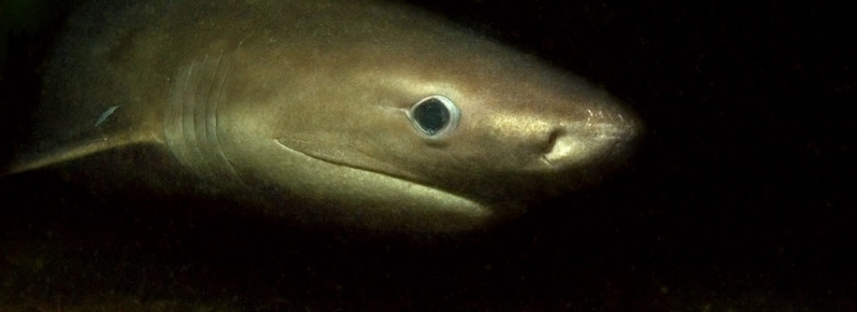 All About Sharks Of The Deep