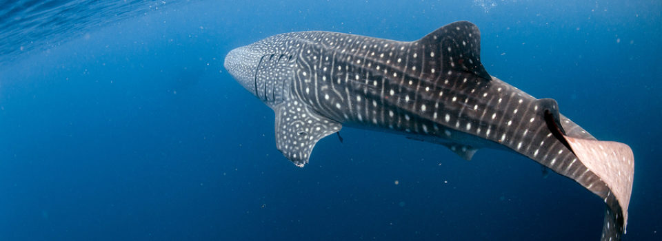 Fintastic Whale Shark Facts