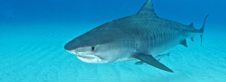 Sharks Of The World Have Added Some Strange Items To Their Diet